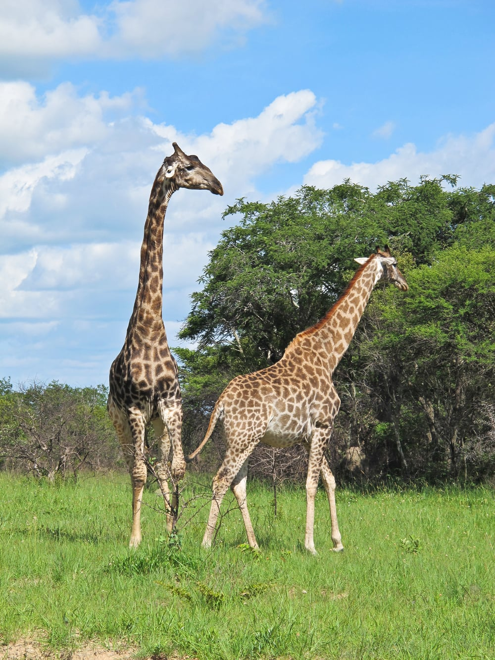 trisa-taro-giraffes-antelope-park-zimbabwe.jpg