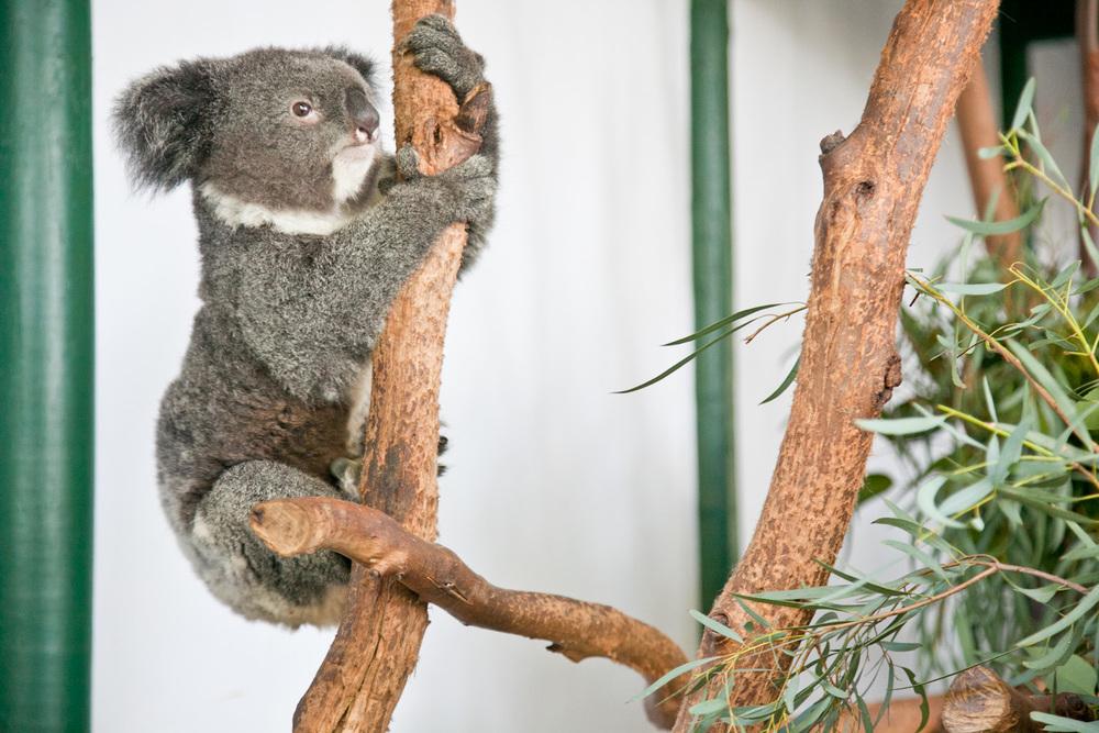 IMG_7638-featherdale-wildlife-park-koala-sydney-australia-trisa-taro.jpg