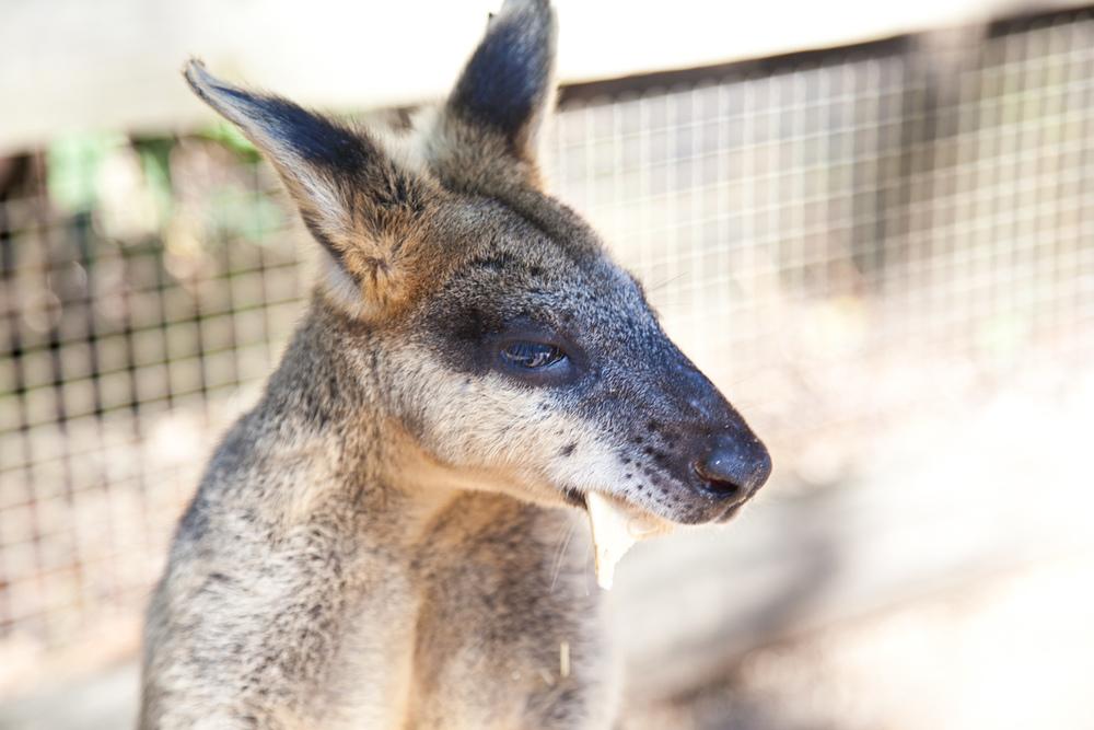 IMG_7659-featherdale-wildlife-park-wallaby-sydney-australia-trisa-taro.jpg