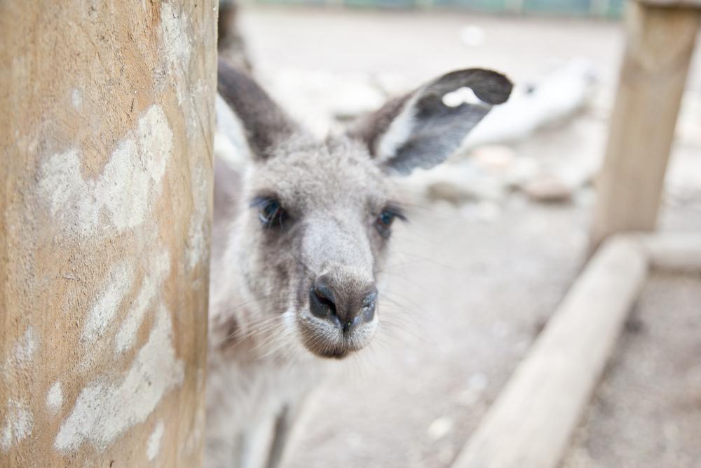 IMG_7770-featherdale-wildlife-park-kangaroo-sydney-australia-trisa-taro.jpg