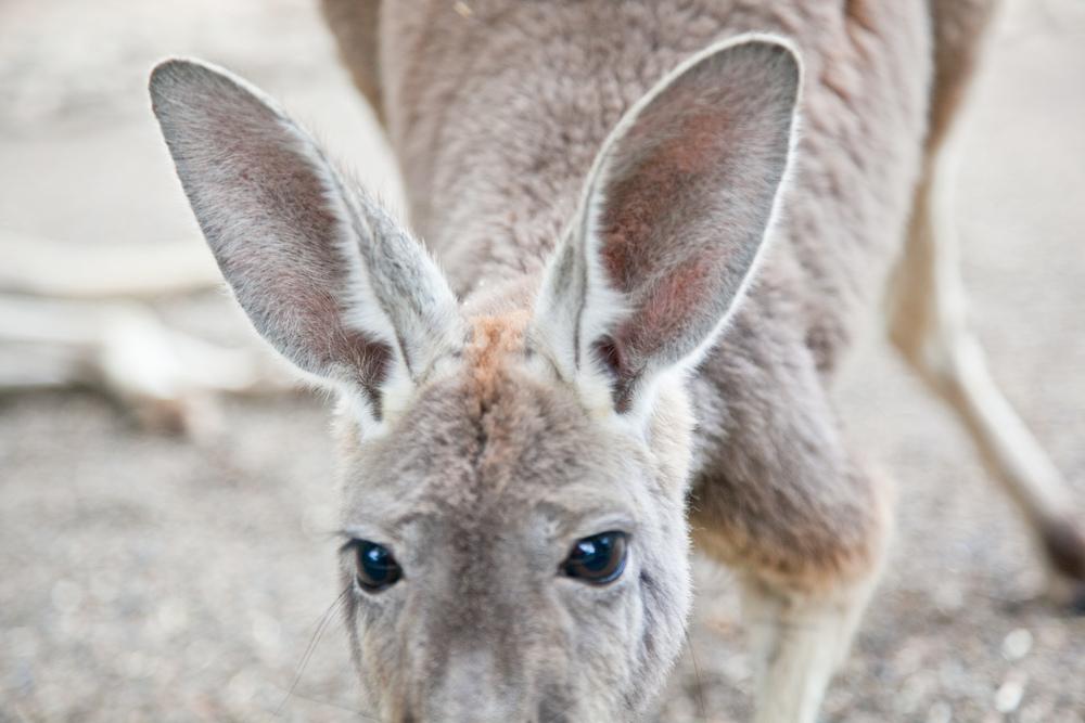 IMG_7772-featherdale-wildlife-park-kangaroo-sydney-australia-trisa-taro.jpg