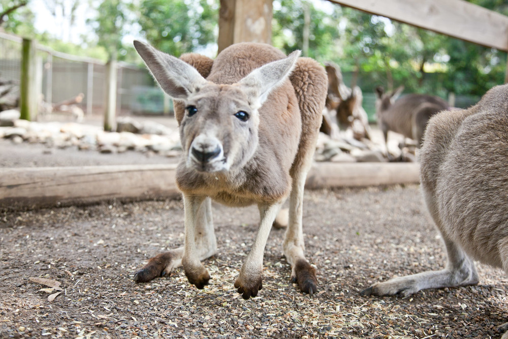 Kangaroo at Featherdale Wildlife Park