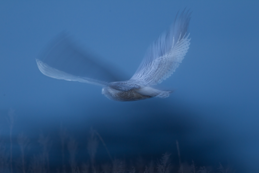 A Snowy Owl flies through a salt marsh at Boundary Bay, B.C, Canada.  Image ©Connor Stefanison