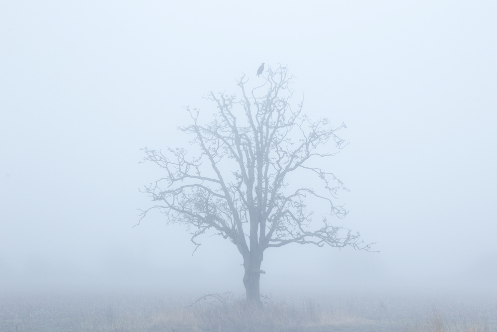 A lone Bald Eagle perches on a rare Gary Oak tree in Delta, B.C, Canada.  Image ©Connor Stefanison