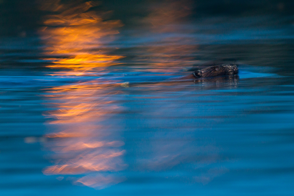 A Beaver swims amongst city lights at Burnaby Lake, in Burnaby, B.C, Canada.  Image ©Connor Stefanison