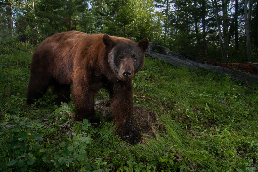 Attracted by a roadkill mule deer that I dragged off the road, this large cinnamon phase Black Bear took a photo of itself by activating my motion triggered camera trap. Taken in the interior of B.C, Canada.  Image ©Connor Stefanison
