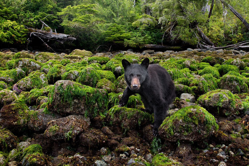 After effortlessly turning over boulders to search for crabs, this yearling Black Bear checked me out for a brief moment. Taken on the west coast of Vancouver Island, B.C, Canada.   Image ©Connor Stefanison