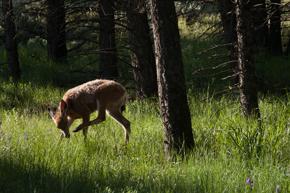 A young Mule Deer doe in Yellowstone National Park, USA.  Image ©Connor Stefanison