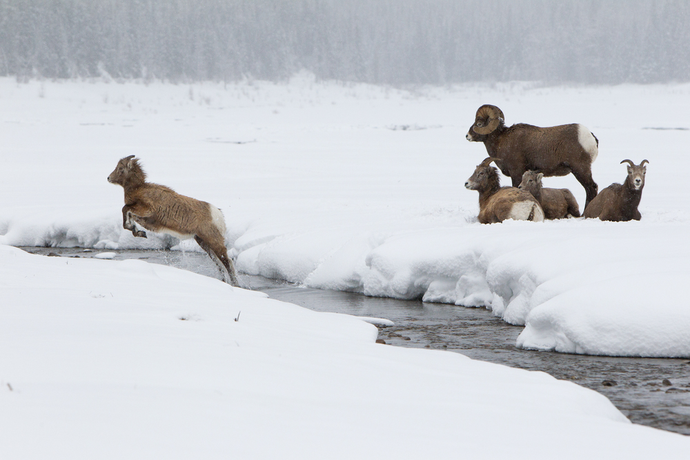 A Rocky Mountain Bighorn Sheep lamb, leaps across a creek to catch up with other herd members. Taken in Jasper National Park, Canada.  Image ©Connor Stefanison