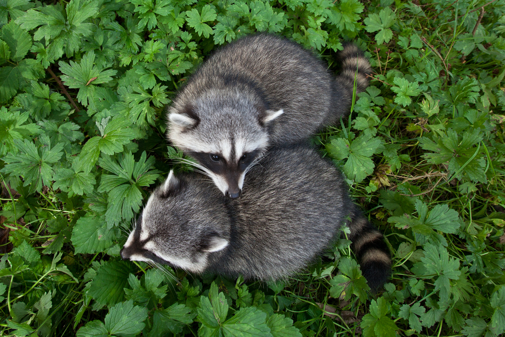 Young Raccoons interact with each other in Vancouver, B.C, Canada.   Image ©Connor Stefanison