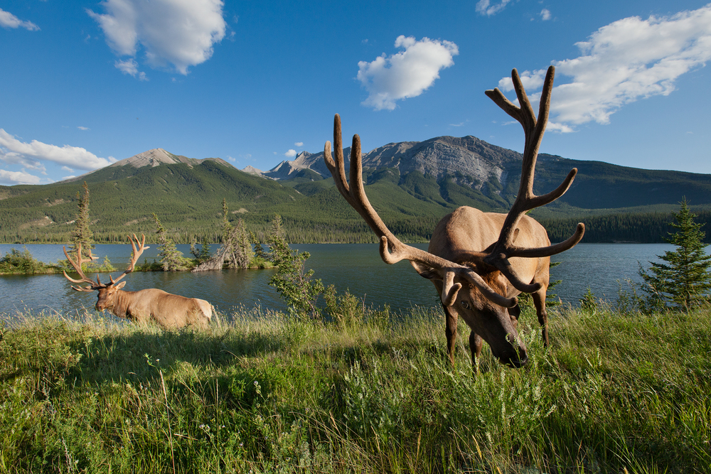 Two bull Rocky Mountain Elk feed along Talbot Lake in Jasper National Park, Canada.  Image ©Connor Stefanison