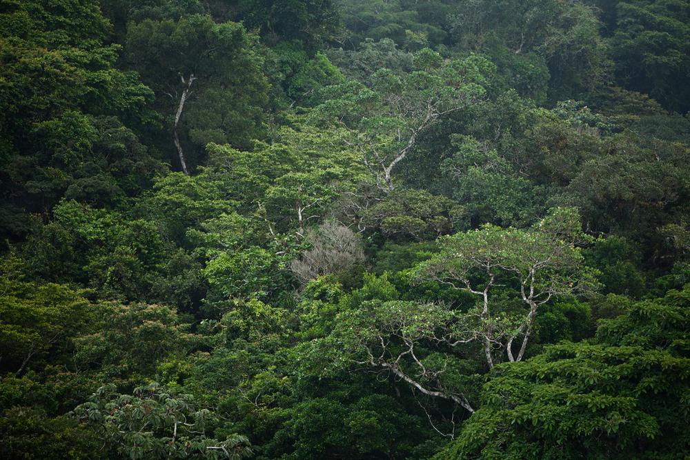 Light mist rolls through the cloud forest of Alto De Campana National Park, Panama.  Image ©Connor Stefanison