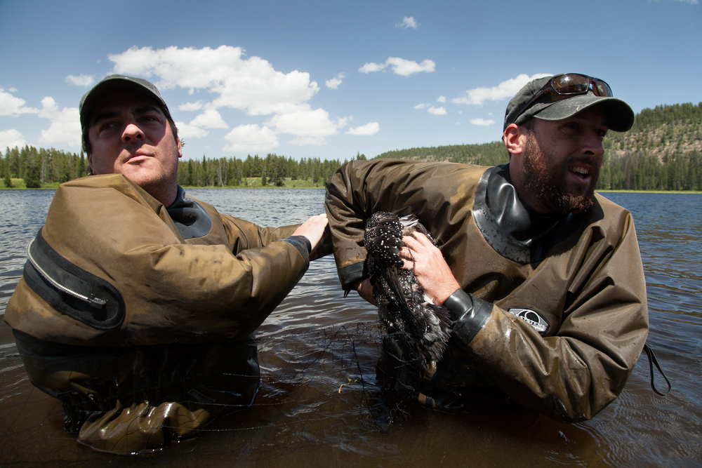 Chris Persico (right) and Vincent Spagnuolo (left) work to release a common loon from a capture net, so they can bring it to land to begin sampling procedures.   Image ©Connor Stefanison