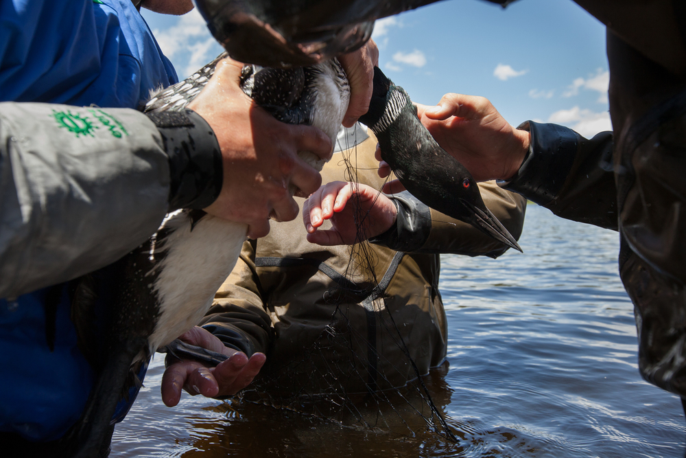 Biodiversity Research Institute scientists work to release a common loon from a capture net, so they can bring it to land to begin sampling procedures.   Image © Connor Stefanison