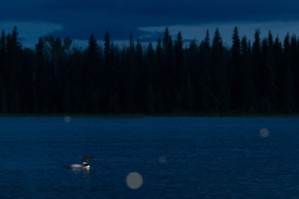 Common Loons are active at night, when they often produce their haunting calls that have made them such an iconic species.   Taken in the interior of British Columbia, Canada.   Image ©Connor Stefanison