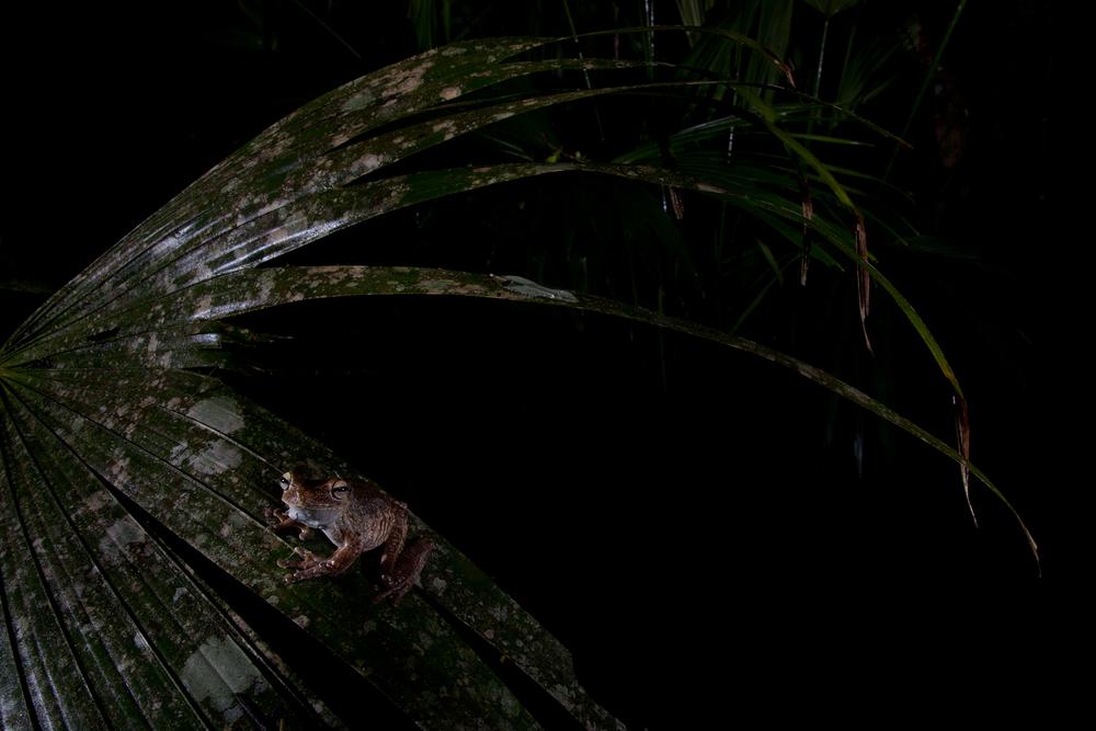 Gladiator Tree Frog. Gamboa, Panama.  Image ©Connor Stefanison