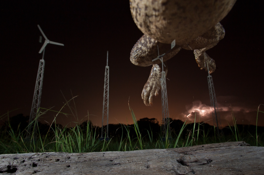 A Cane Toad leaps over the camera as lightning strikes. Taken near Colon, Panama.   Image ©Connor Stefanison