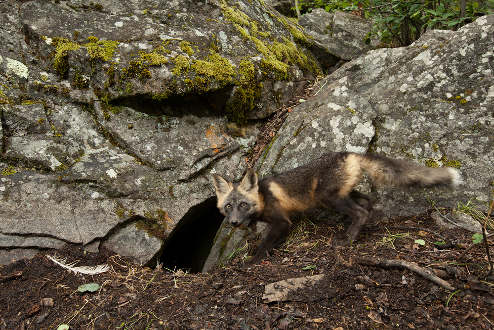 A Cross Fox pup pauses before entering the den. Taken in the B.C interior of Canada.  Image ©Connor Stefanison