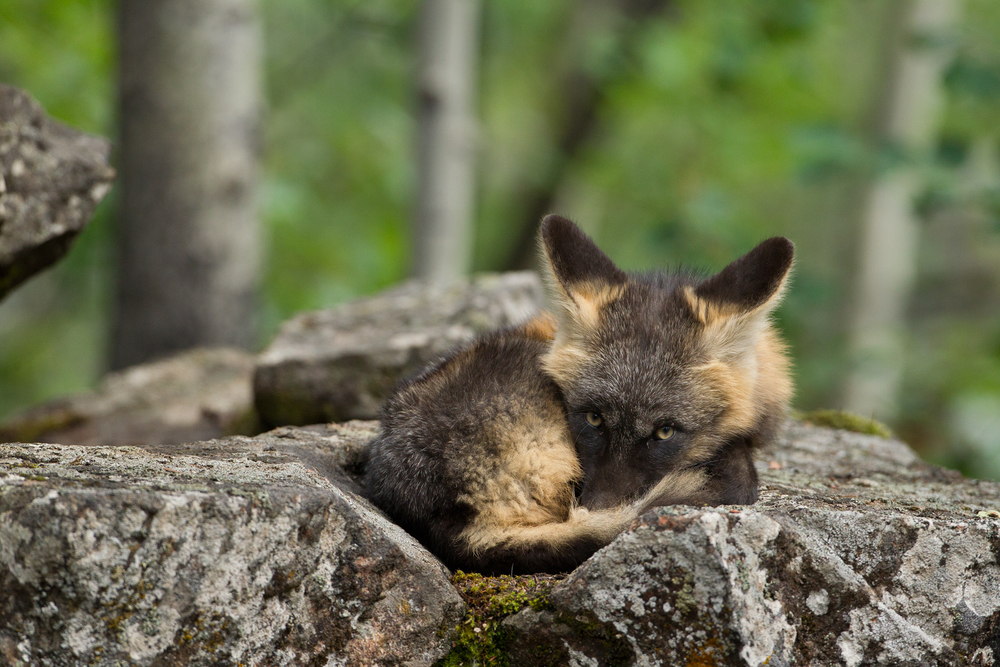 A Cross Fox pup beds down above the den as it waits for its parents to return with food. Taken in the B.C interior of Canada.   Image ©Connor Stefanison