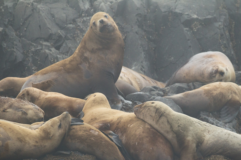 Steller Sea Lions relax on a small island off the west coast of Vancouver Island, B.C, Canada.   Image ©Connor Stefanison