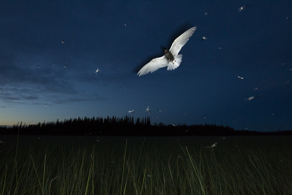 A Black Tern flies through a cloud of insects at dusk in the interior of British Columbia, Canada.   Image ©Connor Stefanison