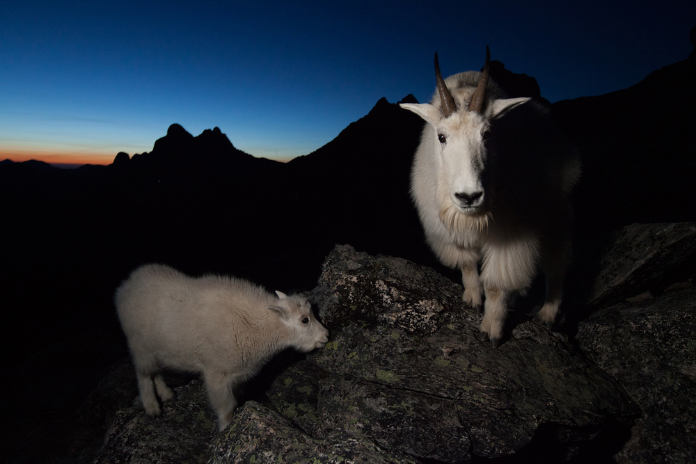 As day turned to night, the goats did not seem to slow down. The kids would often stay close to the adults for security. In this image, the dominant billy stares at me while his kid licks minerals off a rock.