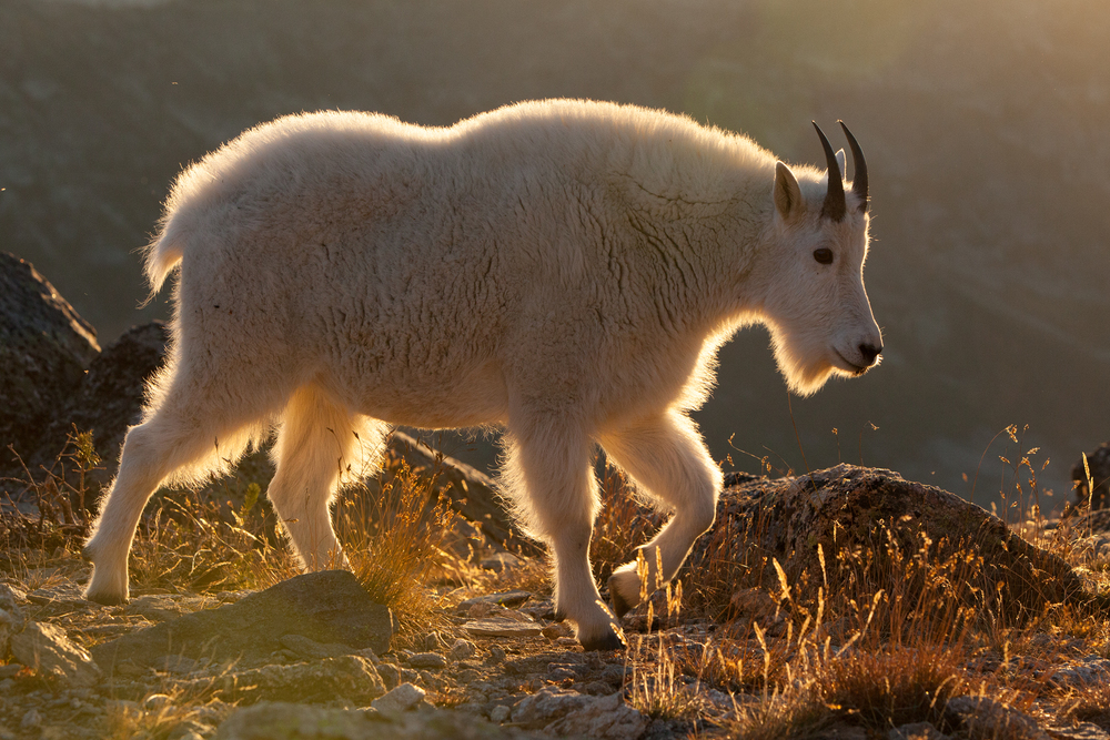 Once the sun started to get lower in the sky, the goats would return to my camp area. Here, they would feed on grasses and lick minerals off the rocks. In this image, a young billy walks along a grassy ridge before sunset.