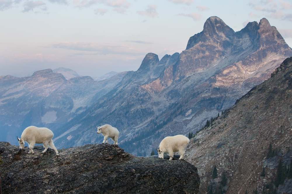 The dominant adult goats and their kid walk along the top of a tall cliff just after sunrise. Alpine rocks contain minerals that the goats lick to obtain necessary salts.