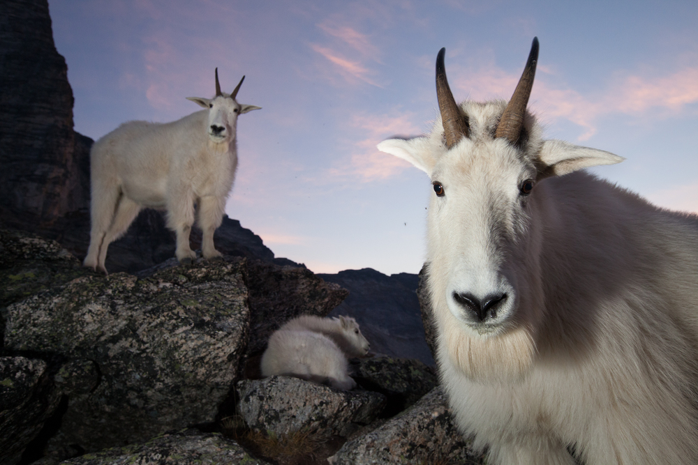On a calm morning before sunrise, a small family of mountain goats rests in a boulder field on an alpine ridge. In the foreground is the dominant billy (male), and in the background are the dominant nanny (female) and their kid (baby).