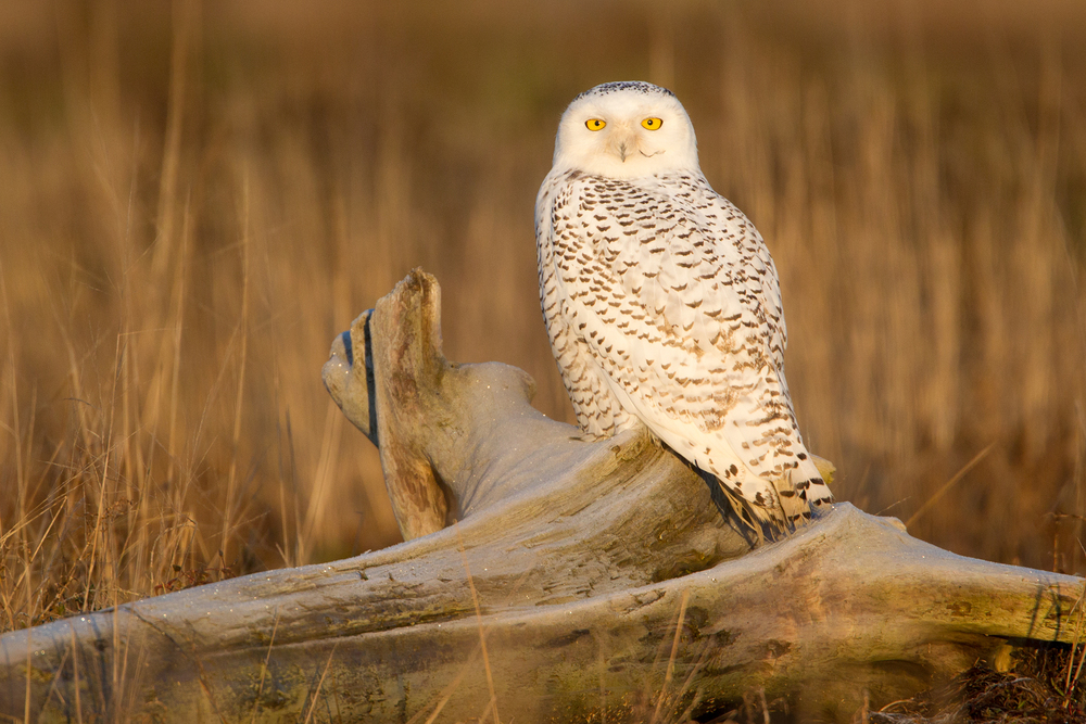 Website_1800_1stSnowyOwl.jpg