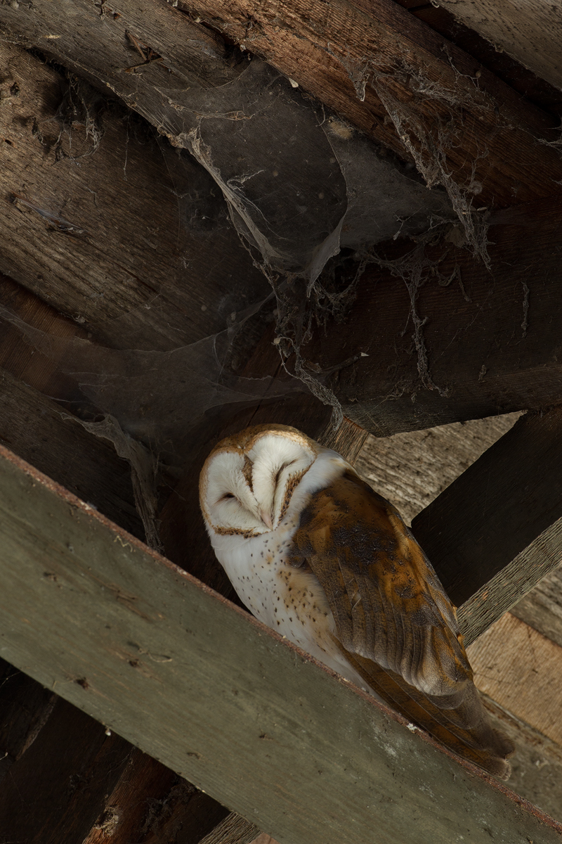 Website_1200_BarnOwl.jpg
