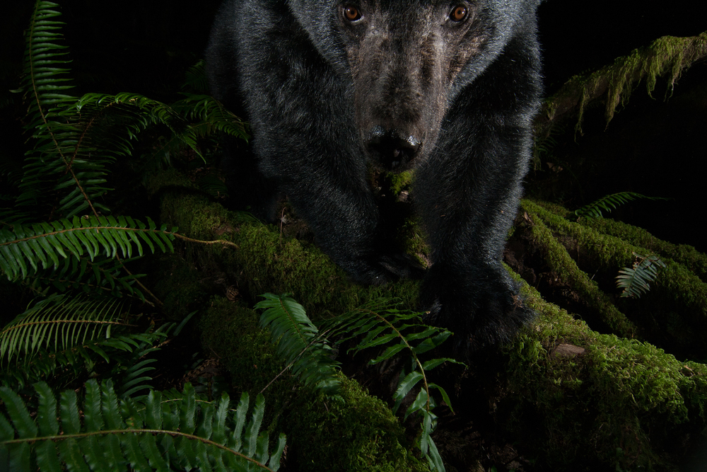 A Black Bear inspects my camera trap at night in a coastal temperate rainforest.   Maple Ridge, British Columbia, Canada.   Image ©Connor Stefanison