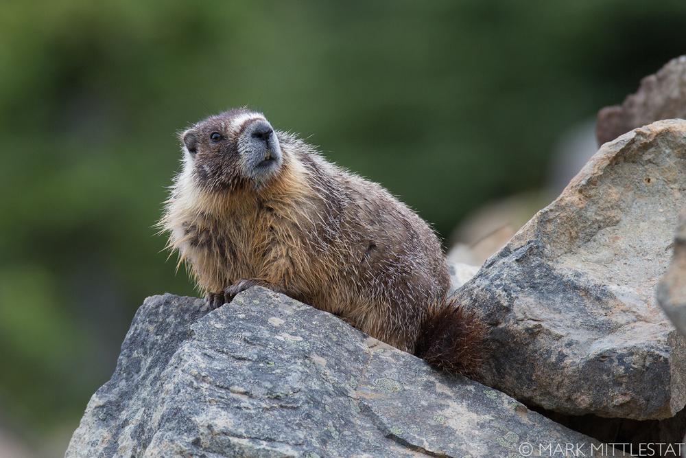 Marmot_MarkMIttlestat.jpg