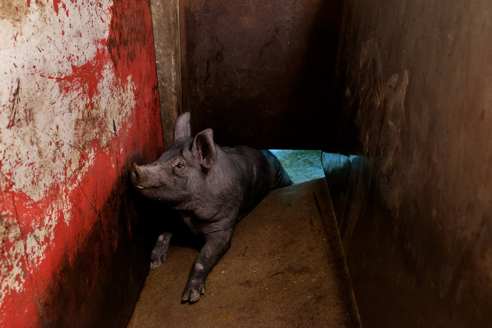 A pig lies trapped under a sliding door, moments before being slaughtered.     Image ©Connor Stefanison