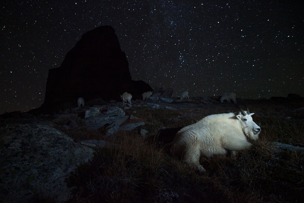 Surrounded by stars, a large dominant billy Mountain Goat rests while the rest of the herd grazes on alpine grasses.   Image ©Connor Stefanison