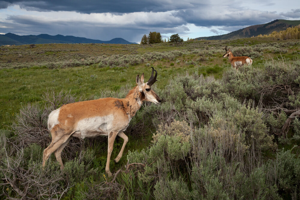 Two large Pronghorn Bucks roam the landscape in Yellowstone National Park, USA.  Image ©Connor Stefanison