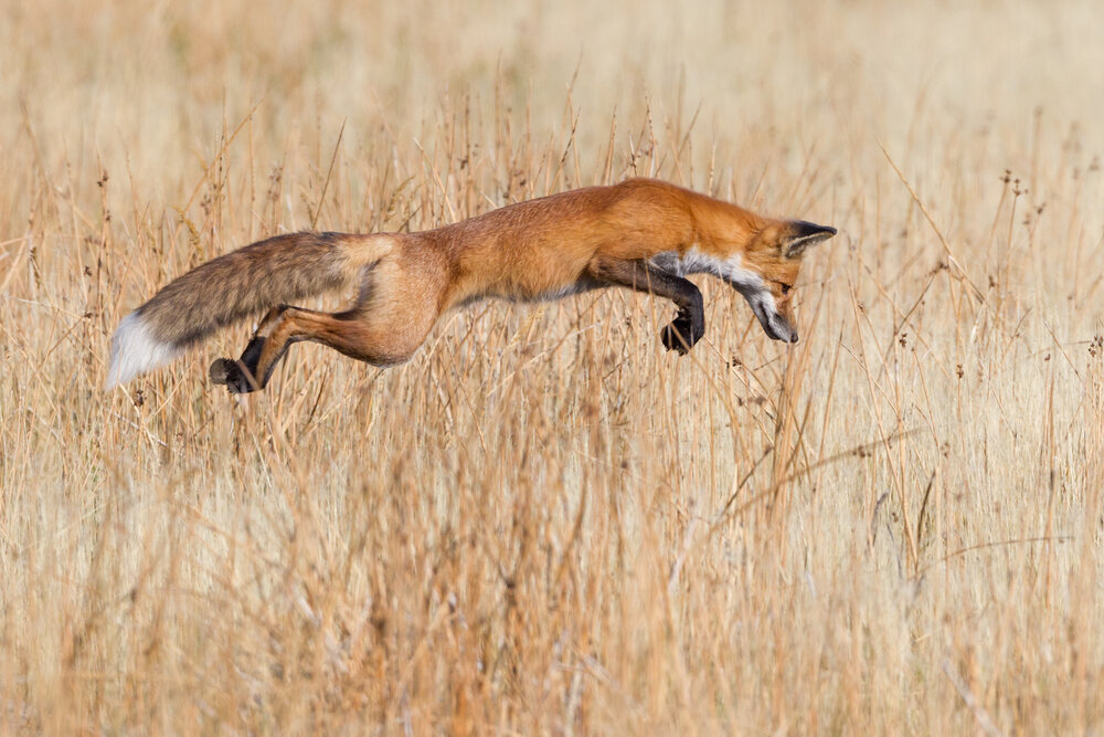A Red Fox successfully pounces on prey in Yellowstone National Park, USA.     Image ©Connor Stefanison