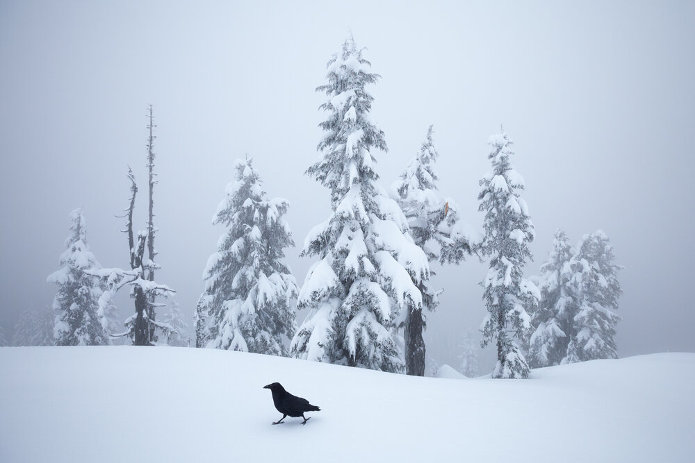 A Common Raven walks along a snowy mountain top in West Vancouver, B.C, Canada.   Image ©Connor Stefanison