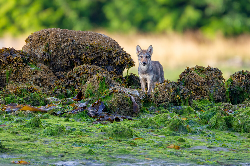 A Gray Wolf pup stands in the intertidal zone off the west coast of B.C, Canada.  Image ©Connor Stefanison