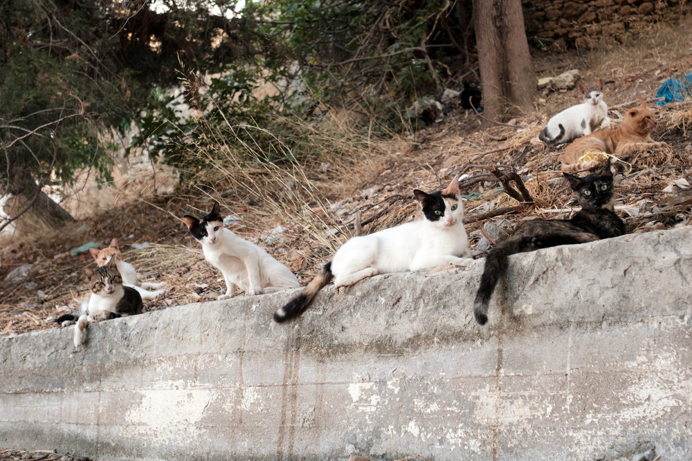 stray cats hang out on a ledge on the island of symi in greece