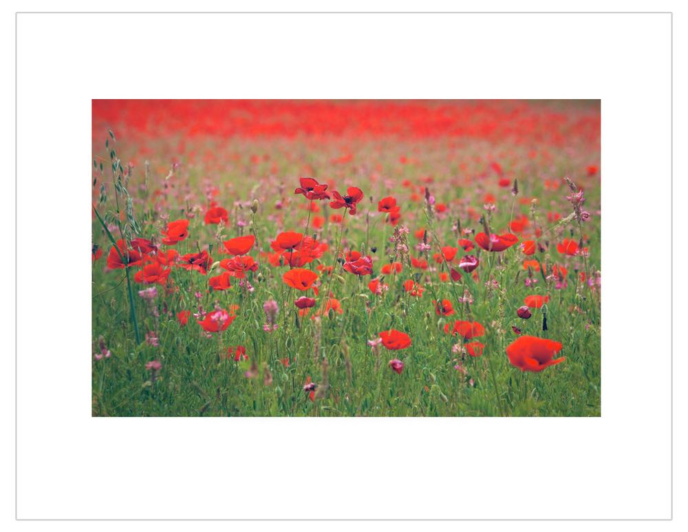 """Poppy field, Provence, France"""