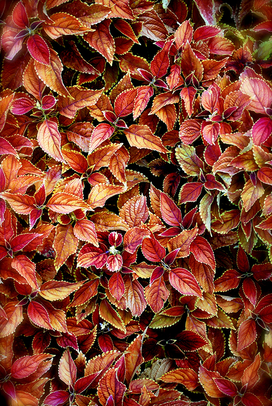 ChiLeaves