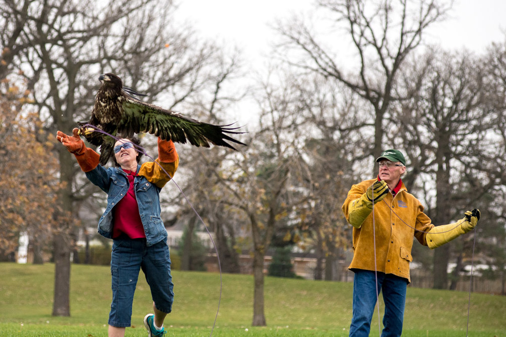 Janice Constable, left, a volunteer with The Raptor Center, releases a juvenile bald eagle at Como Regional Park in St. Paul, Minn., as part of its rehabilitation on Wednesday, November 4, 2015, while volunteer Steve Masten controls the line the eagle is attached to. The two volunteers work with birds to help prepare them for flying once released back into the wild.