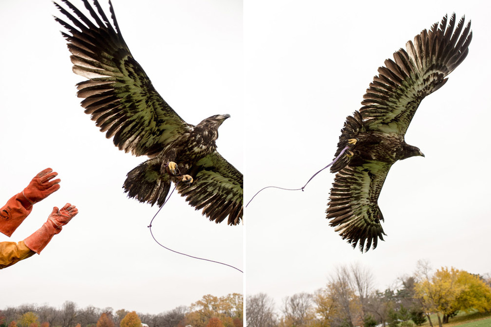 "Janice Constable, a volunteer with The Raptor Center for over 20 years, releases a juvenile bald eagle at Como Regional Park in St. Paul, Minn., as part of its rehabilitation on Wednesday, November 4, 2015. She says her favorite part of volunteering is, ""Seeing the birds I've worked with be released. It makes my work fulfilling."""