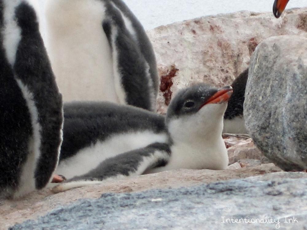 Antarctica Baby Penguins