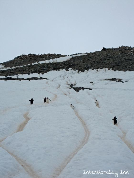 Antarctica Penguin super highway