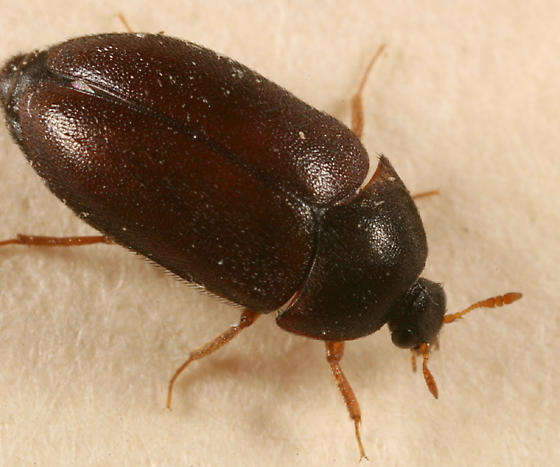 Above Image: Black Carpet Beatle