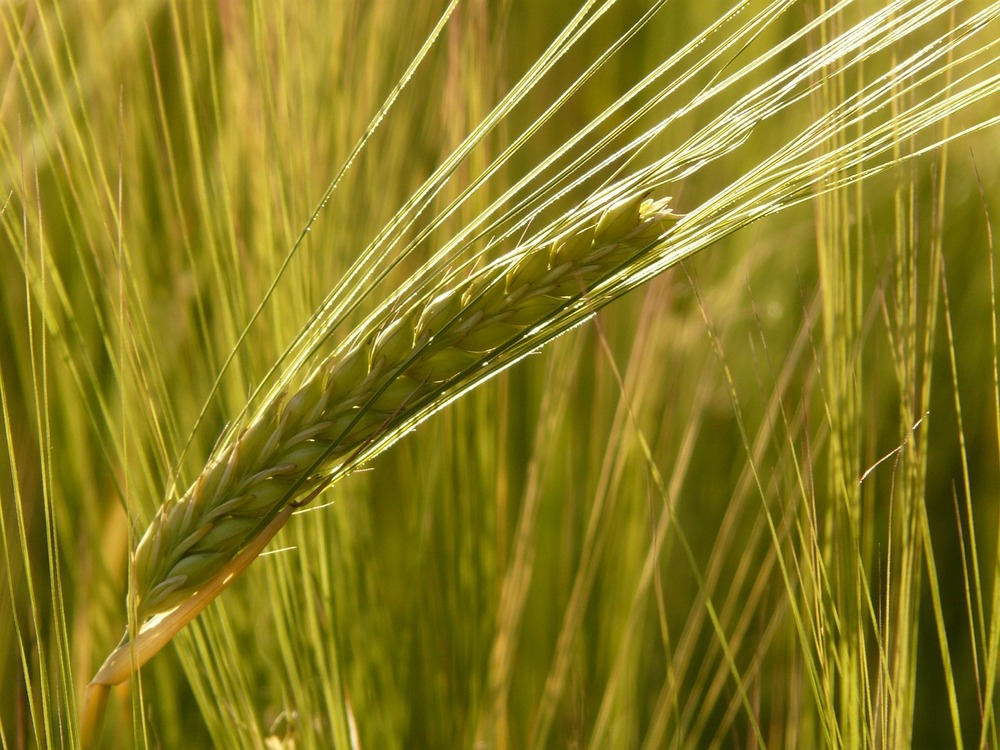 barley-field-8230_1280.jpg