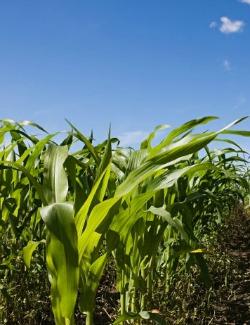 GMOs Are A-OK