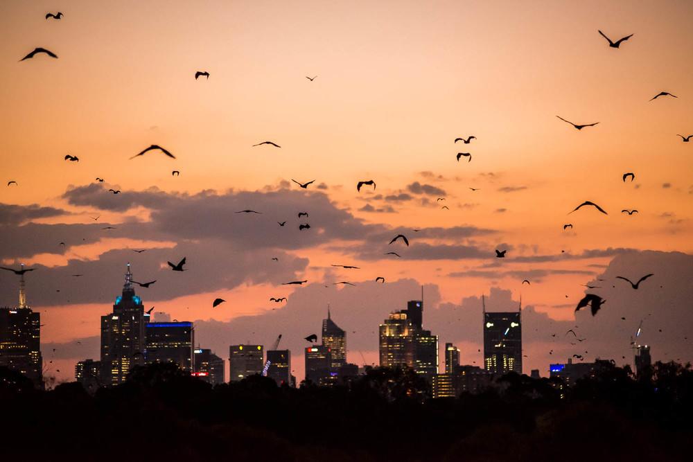 Bats Flying over Melbourne